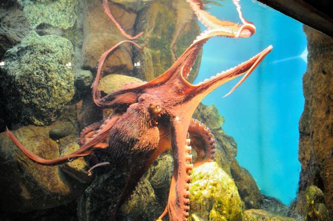 Blæksprutte i aktion