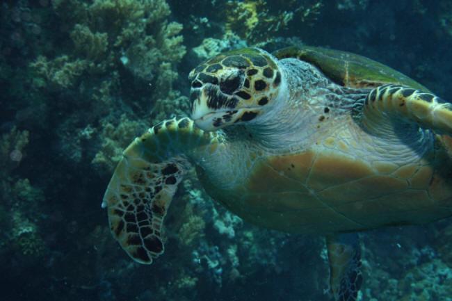 Skildpadden