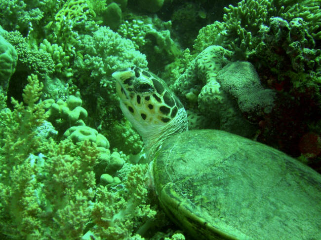skildpadde der spiser agurk