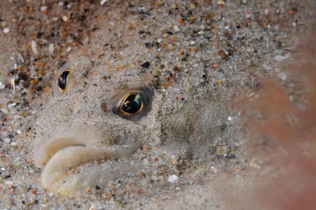 Skrubbe i sandet