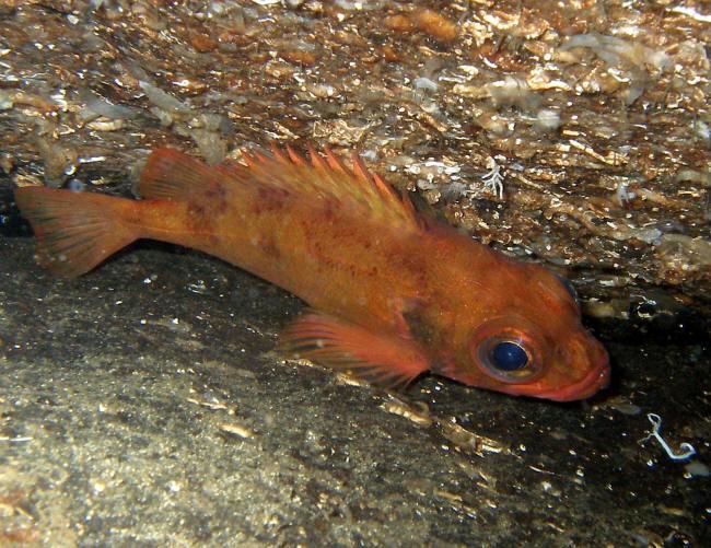 Rødfisk (Lille Rødfsik)