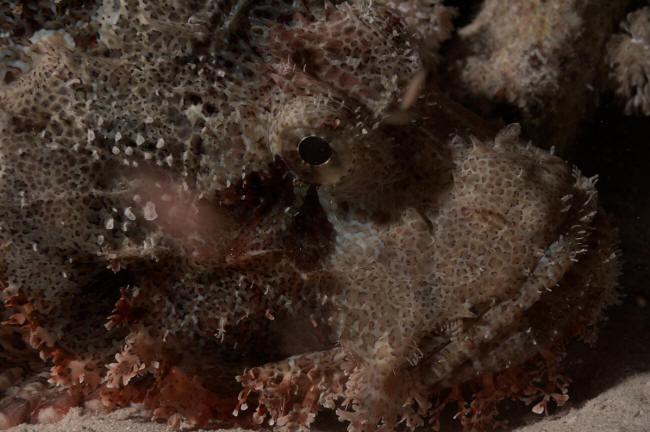 Skorpionsfisk