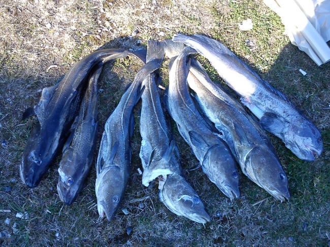 Samlet fangst