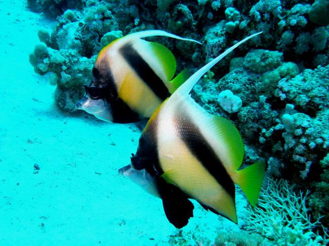 Akvarieifisk