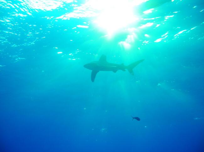 Lille haj