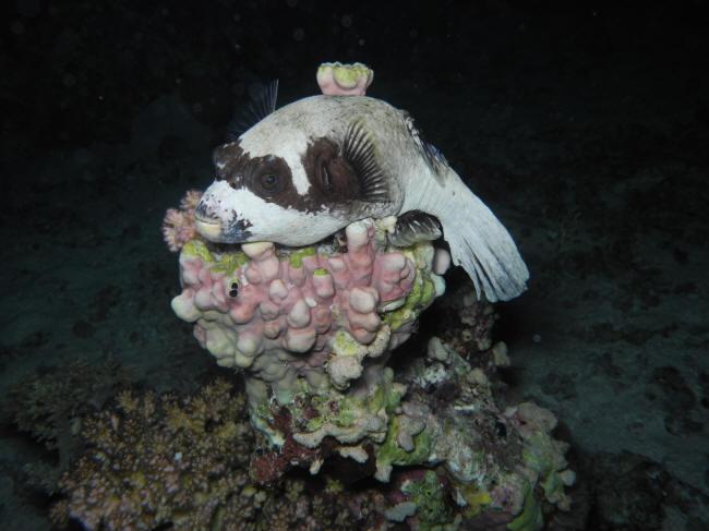 Maske kuglefisk