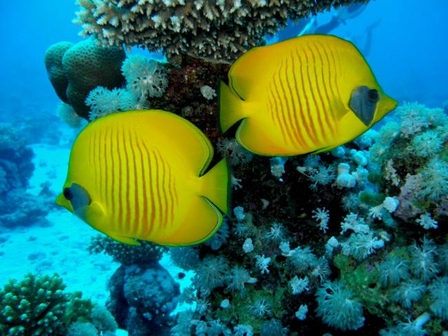 Maske sommerfulefisk