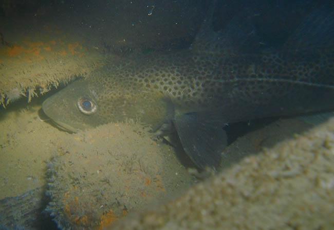 En af de mange torsk