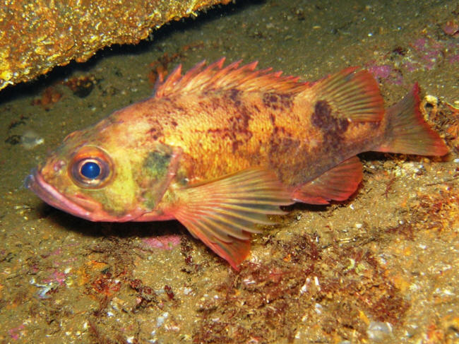 Lille Rødfisk på vraget