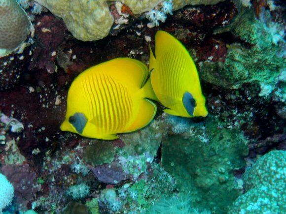 Maskesommerfuglefisk - en af de sikre arter!